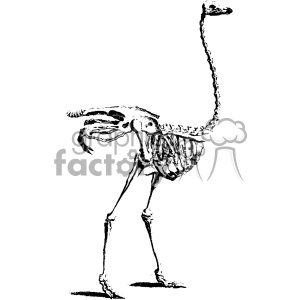 William Cheselden vector flamingo anatomy art clipart. Royalty-free image # 403113