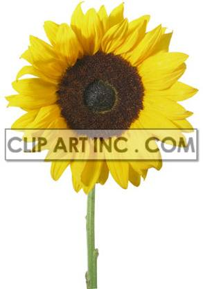 sunflower clipart. Commercial use icon # 176899