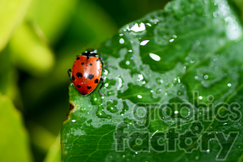 wet ladybug RF photo photo. Royalty-free photo # 391307
