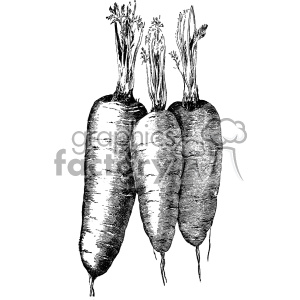 vintage carrots vector vintage 1900 vector art GF clipart. Commercial use image # 402510
