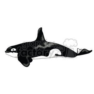 Killer Whale 05 clipart. Royalty-free image # 391522