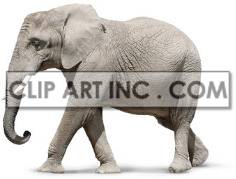 Grey Walking Elephant clipart. Commercial use image # 176868