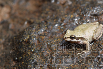 frog on a rock photo. Royalty-free photo # 390975