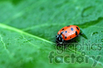 ladybug on leaf clipart. Royalty-free image # 391305