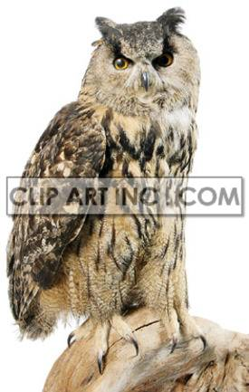 hibou grand duc owl owls   2A1031lowres Photos Animals