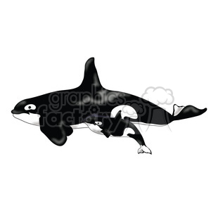 Killer Whale 07 mothercalf clipart. Royalty-free image # 391588
