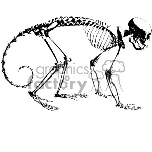 vintage retro illustration black+white anatomy body art monkey skeleton bones animal