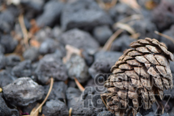 pine cone on lava rocks photo. Commercial use photo # 390983