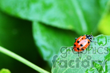 ladybug RF photo clipart. Royalty-free image # 391303