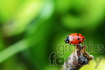 ladybug on tip of stick photo clipart. Royalty-free image # 391308