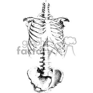 vintage retro illustration black+white anatomy body art skeleton ribs