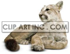 Big cat laying on the ground. clipart. Commercial use image # 176859