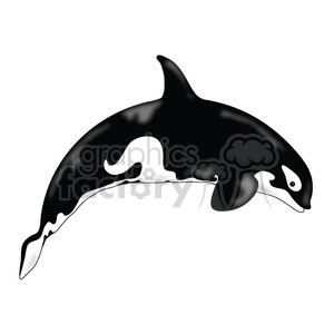 Killer Whale 01 clipart. Royalty-free image # 391641