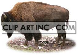 bison buffalo bovine mammals buffaloes   2a0031lowres photos animals