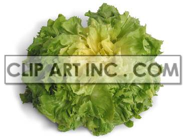 Green lettuce photo. Royalty-free photo # 176931