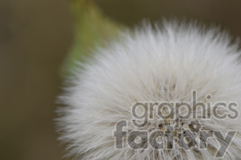 Dandelion photo. Royalty-free photo # 391081