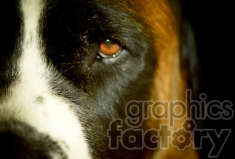 Saint Bernard left side of face clipart. Royalty-free image # 391306
