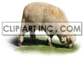 sheep ruminant wool mammals animal   2A0019lowres Photos Animals