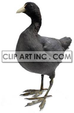 foulque duck ducks   2a1020lowres photos animals