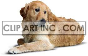 Golden retriever dog laying on the floor. clipart. Commercial use image # 176860