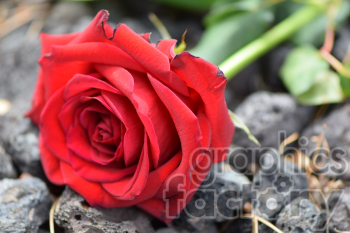 red rose with stem photo. Royalty-free photo # 391079