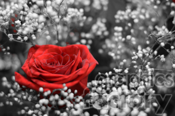 red rose clipart. Commercial use image # 391084