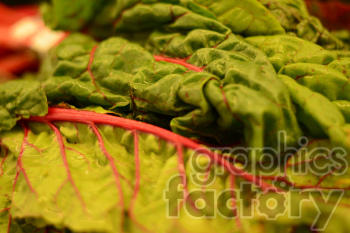 lettuce photo. Royalty-free photo # 391224