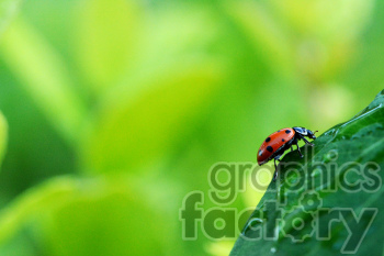 ladybug on a leaf photo. Commercial use photo # 391304