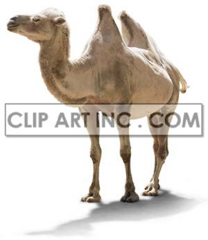camel long-necked ruminant mammals animal domesticated humped camels   2A0032lowres Photos Animals