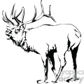 black and white Elk roaring