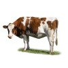 cow dairy cow bovine mammals animal cows   2a0021lowres photos animals