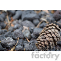 pine cone on lava rocks