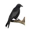 corneille bird birds crow crows   2a1011lowres photos animals