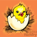 Blue eyed baby chick chirping and hatching