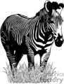 Zebra standing in a field of grass