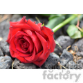 red rose with stem  jpg