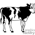 Black and white young Holstein cow