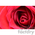 red rose close up  jpg