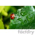 wet ladybug RF photo