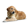 Golden retriever dog laying on the floor. vector clip art image